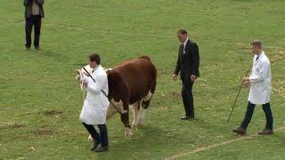 Tarw Ifanc Rhyngfrid | Interbreed Junior Bull