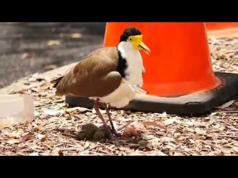 Masked Lapwing, Masked Plover, formerly Spur-winged Plover (Vanellus miles) / Maskenkiebitz [6]