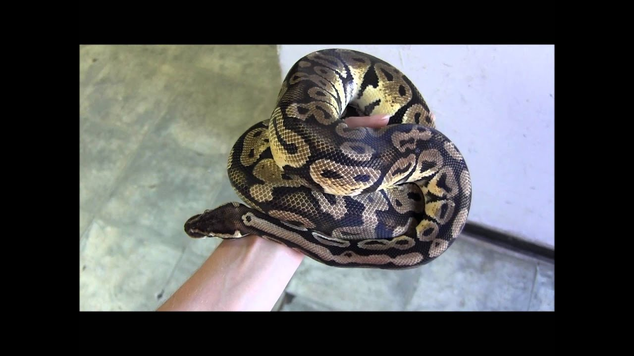 Adult Male Pastel Ball Python - Youtube-5326
