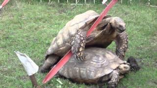 Tortoise Bondage Love