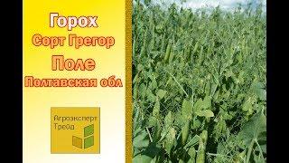 Горох Грегор - поле в Полтавской области Украина
