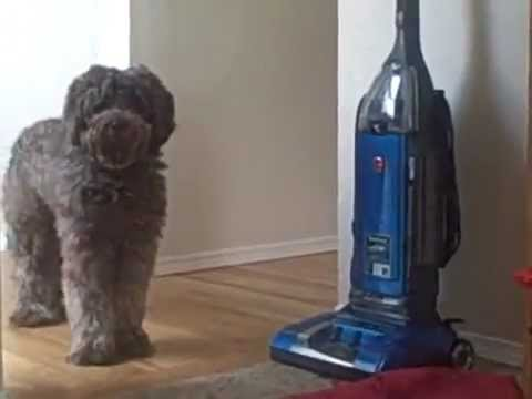 Dog IQ Test: Rudy the Labradoodle