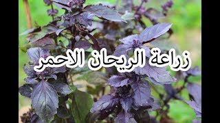 زراعة الريحان الاحمر من البذور الجزء الثاني (2)
