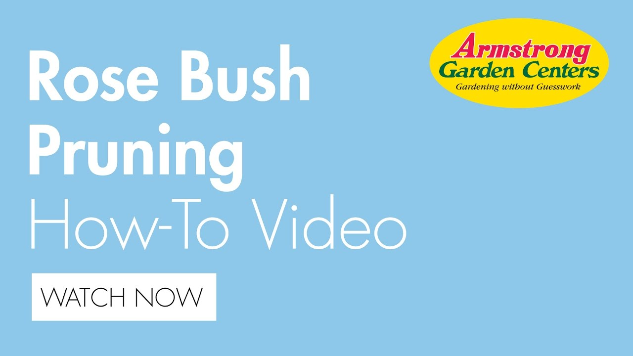 How to Prune a Rose Bush Armstrong Garden Centers YouTube