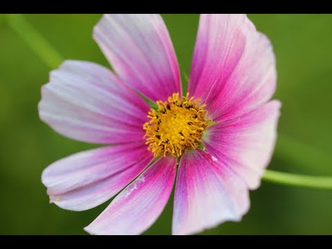 One Minute In The Garden: Flowers  Zinnias, Cosmos, Sunflowers, And More