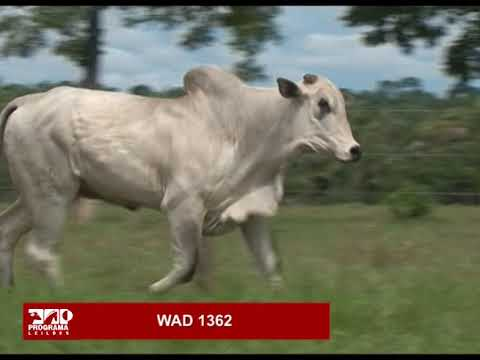 LOTE 77 - WAD 1362