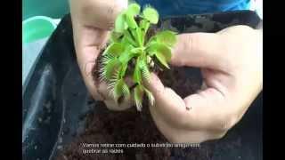 Trocando o substrato de uma Dionaea plantas carnivoras