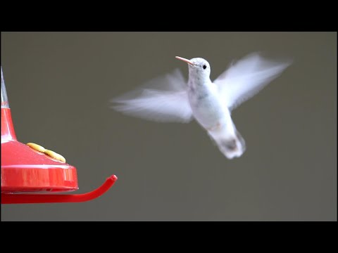 Hummingbirds Ultra Slow Motion - Amazing Facts, Full HD