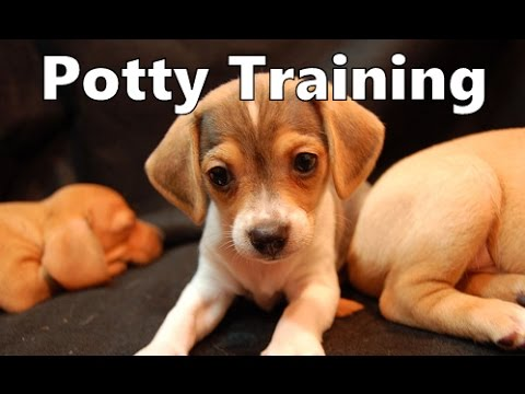 How To Potty Train A Cheagle Puppy Cheagle House Training Tips
