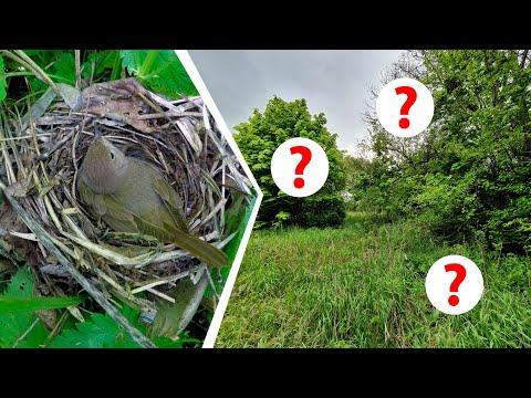 Где гнездится соловей? На земле, в кустах или на дереве?