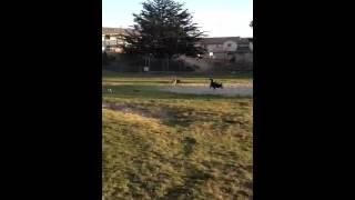 Shiba Inu, German Shepherd Mix, And Beagle Mix Playing