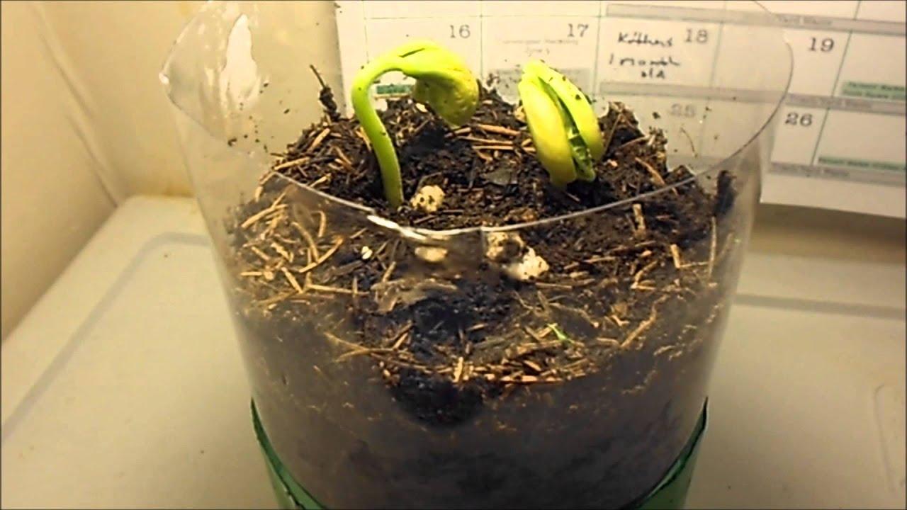 Indoor Garden: Growing beans week 1 - YouTube