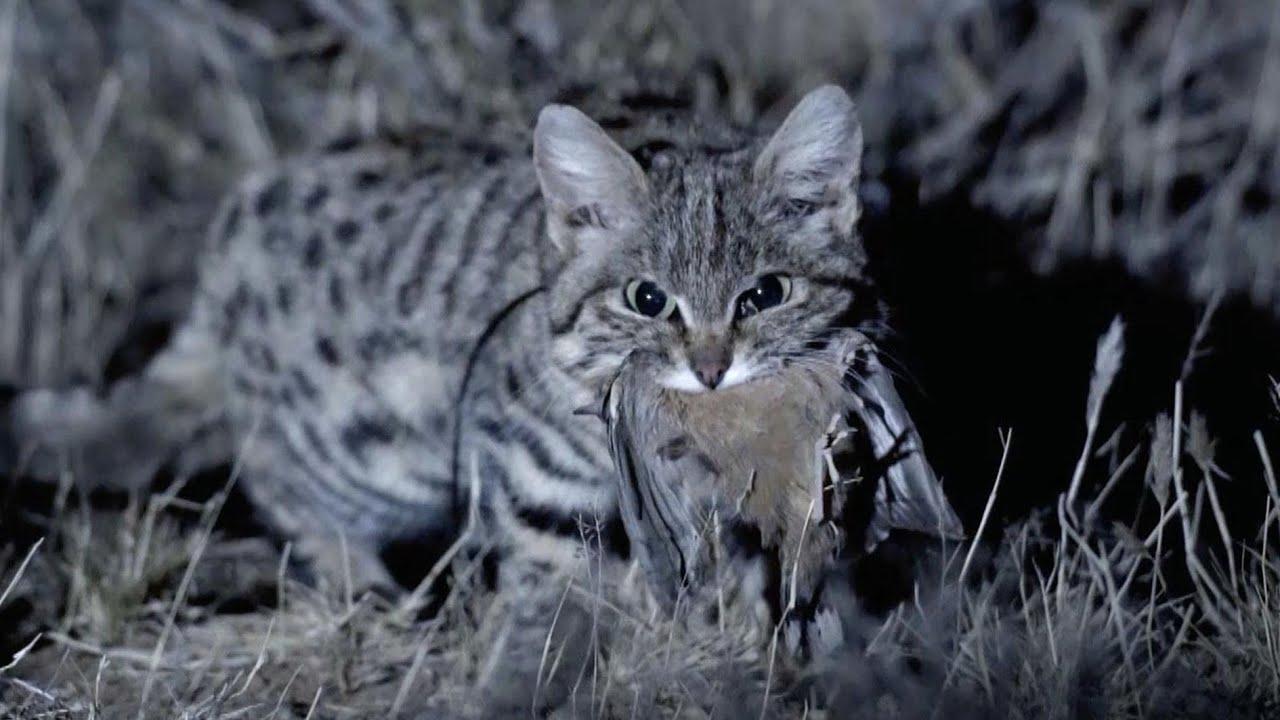 Черноногий кот - Самый СМЕРТОНОСНЫЙ дикий кот Африки и неуловимый ночной мститель