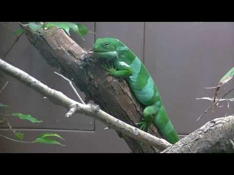 Fiji Banded Iguana In A Trance