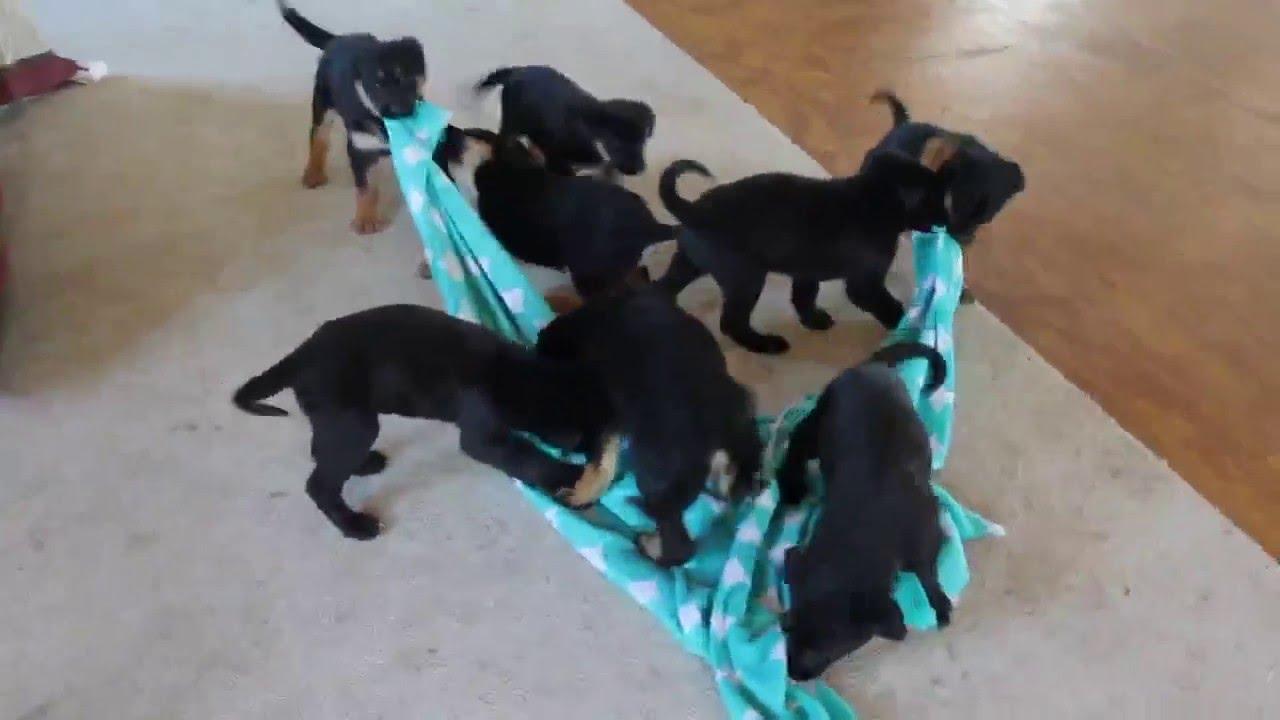 German Sheprador Puppies For Sale Youtube