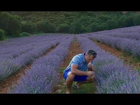 organic-greek-lavender-has-arrived!