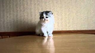Черно-белый маленький котенок