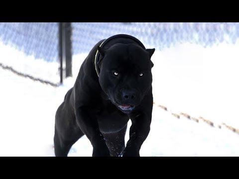 Dünyadaki En Güçlü 7 Köpek Türü