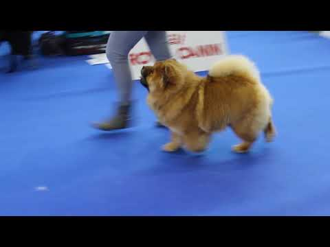 chow chow-training on show