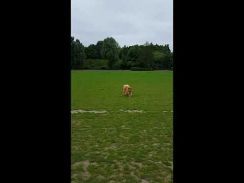 Blind Chow Chow Motivation training #2
