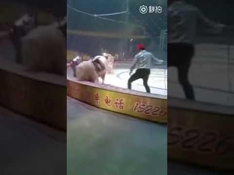 un-tigre-y-un-león-atacaron-a-un-caballo-durante-ensayo-de-circo