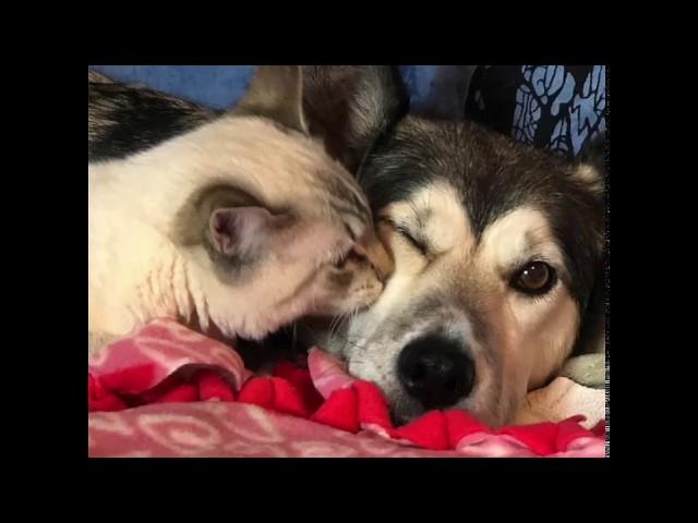 Special Needs Kitty Finds Loving Foster Mom Husky Dog