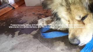 Привел бездомную собаку в дом, но случилась беда | Сепсис и опарыши поедают собаку заживо