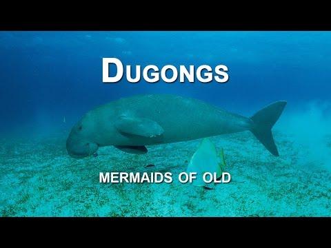 DUGONGS - mermaids of old