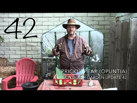 Container Garden Update 42: Propagating Prickly Pear (Opuntia)