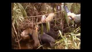HOG HUNTING HILO HAWAII DOGS AND KNIFE
