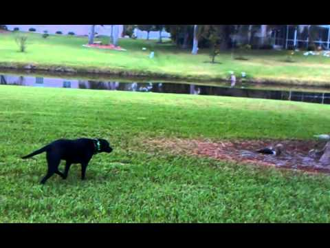 Dog stalking squirrel.