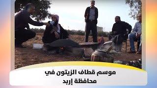 موسم قطاف الزيتون في محافظة إربد
