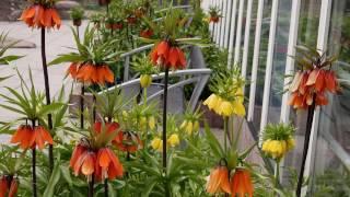 Рябчик императорский – сорта и особенности; почему рябчик не цветет