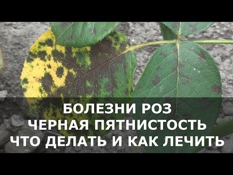 Болезни Роз, на Листьях Появились Пятна – что Делать и чем Лечить Розы.
