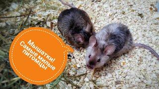 Содержание декоративных мышей | иерархия