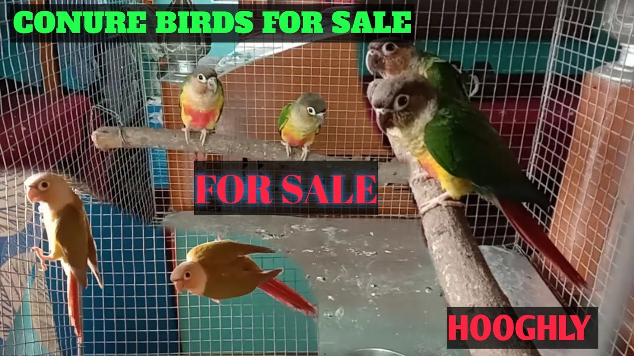 PINEAPPLE CONURE AND YELLOW SIDED CONURE FOR SALE ।।LOCATION HOOGHLY