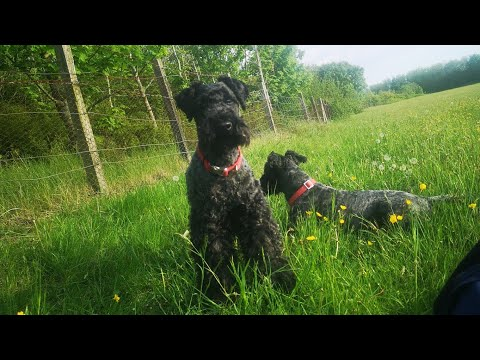 Another dog walk with the kerry blue terriers May 20th 2020