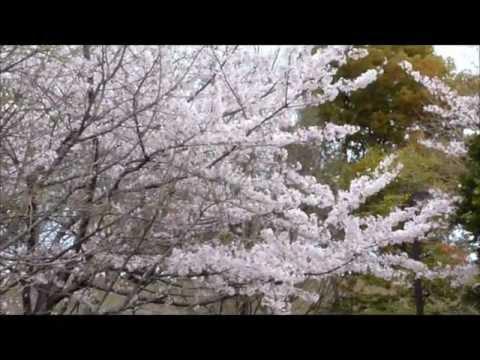 Sakura in Nagakute Park