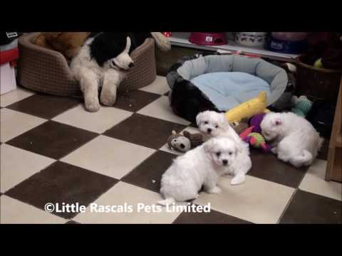 Little Rascals Uk breeders New litter of Maltese Terrier Puppies