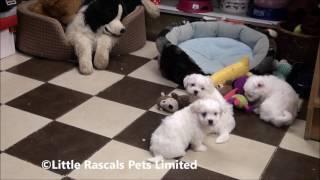 Little Rascals Uk Breeders New Litter Of Maltese Terrier Puppies
