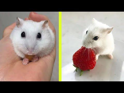 Смешное видео про ДЖУНГАРИКОВ ХОМЯЧКОВ! #смешныехомяки приколы с хомяками  Hamsters like #276