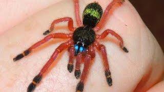 Blue Fang (Ephebopus cyagnonathus) Sling (spiderling) Care. One of ...