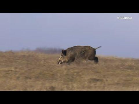 a-la-caza-del-gran-jabalí-en-rumanía-con-michel-coya