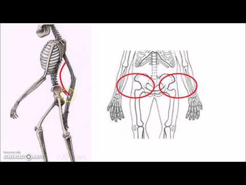 HSHS AP Biology - Evolution of Bipedalism