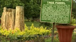 20 million years old tree fossil at Lalbagh botanical garden, Bengaluru
