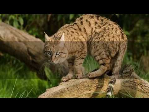 Interesting Chinese mountain cat Facts