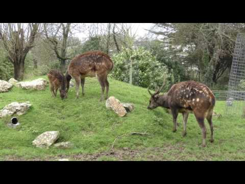 Visayan Spotted Deer at Newquay Zoo (20th March 2017)