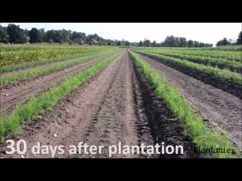 ASPARAGUS PLANTS PLANTATION - MANUAL PLANTATION - PLANTARA, PLANTS PRODUCTION