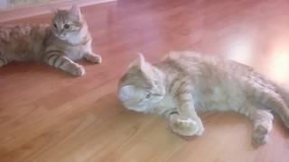 Реакция котят на запах лука. Борьба Рыжика и Фильки.Кошачьи приколы.