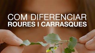 Com diferenciar roures i carrasques